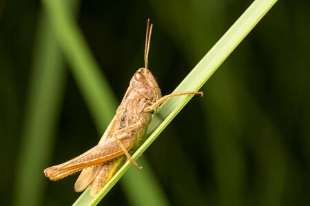 Brown grasshopper on a green leaf of grass. Side view photo. Close-up. Zdjęcie Seryjne