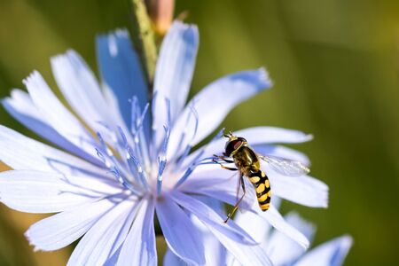 Beautiful striped fly on a chicory flower. Taken on a sunny summer day. Macro photo.
