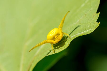 Yellow spider is sitting on a green leaf close-up. Blurring the background. Close-up.