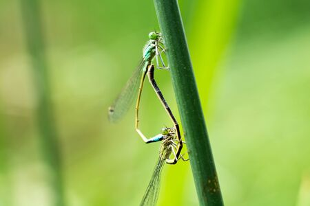 Two dragonflies mate on a green leaf. Natural blurred background. Close-up.