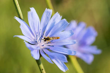 Beautiful fly on a chicory flower. Taken on a sunny summer day. Macro photo.
