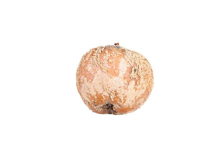 uneatable: Rotten uneatable apple with fungus isolated on a white background