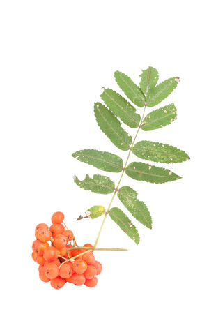 rosaceae: Bunch of red rowan berries and leaves isolated on white background