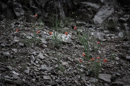 blackwhite: Red flowers among the stones. Toned. Black-white.
