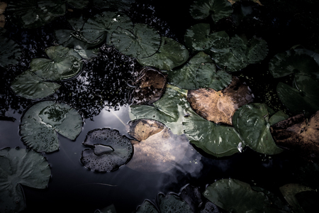 leaves of water lilies on the water surface. tinted photo