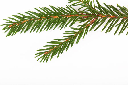 fir twig: green fir twig isolated on white background
