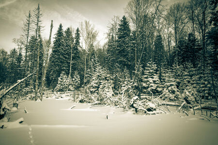 winter forest covered with snow. tinted photo