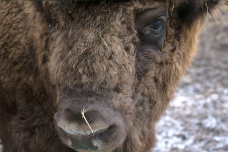 Portrait of bison. Sharpness on eyes. tinted photo