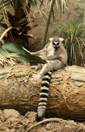 wild silky white: Lemur is sitting on a tree trunk and holds palm leaf.
