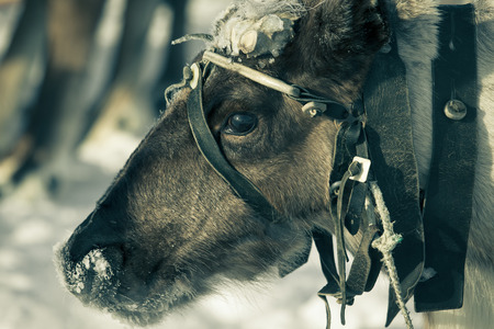 Portrait of a reindeer. Sharpness on eyes. photo