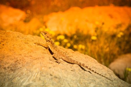 Mountain agama (Laudakia stellio) basking on a rock in the setting sun Stock Photo
