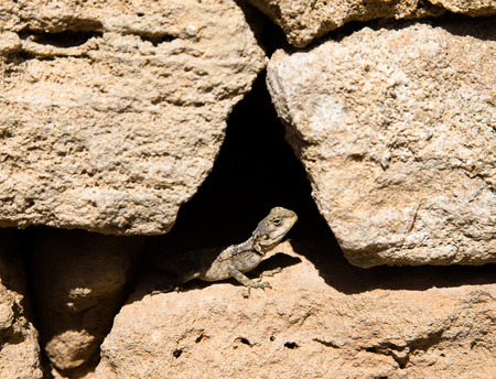 agama sitting in a crevice of the stone fence. Stock Photo