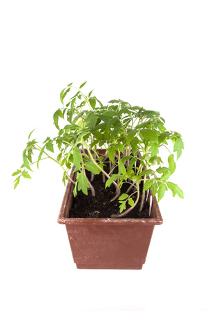 Tomato seedlings in a box on a light background. Shallow depth of field. photo