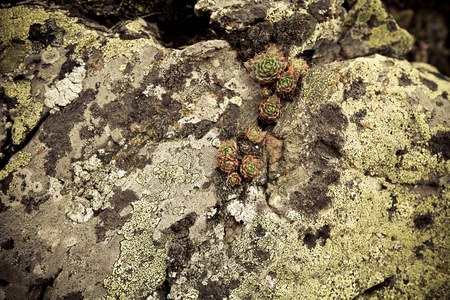 symbiotic: Lichen and plant on the stones in Andorra. Toned.
