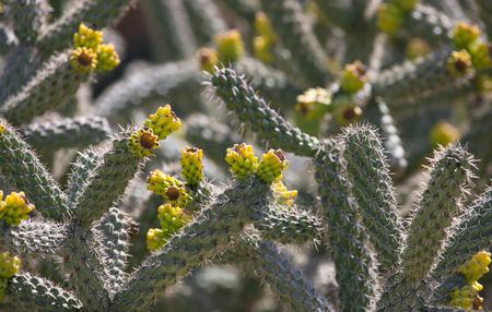 cobwebs: Blooming cactus with cobwebs. Macro. Selective focus. Stock Photo