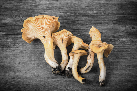 cantharellus: Cantharellus cibarius, commonly known as the chanterelle, golden chanterelle or girolle, is a fungus. Mushrooms on wooden background.