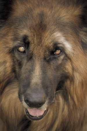 herdsman: Portrait of thoughtful dog. Focus on the eyes. Toned.