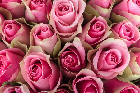 Sfondo naturale di rose fresche. Focalizzazione morbida.