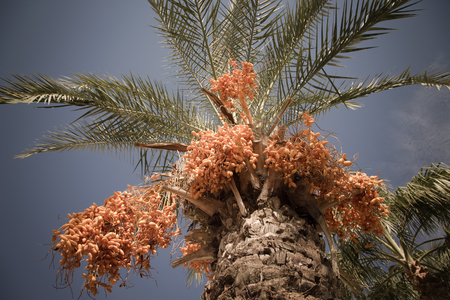 date tree: Palm tree with date fruits on the sky background. Selective focus. Toned.