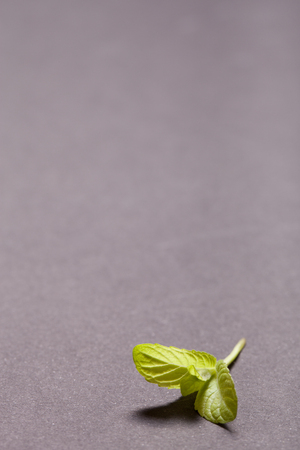 water repellent: Peppermint leaf on the black slate background. Shallow depth of field.