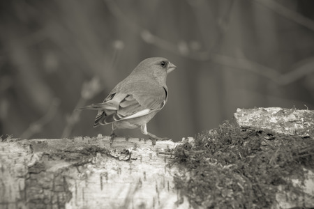greenfinch: Greenfinch (Carduelis chloris) on defocused blurred natural background. Focus on eyes. Toned. Stock Photo