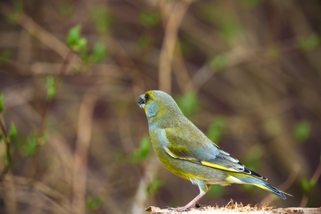ice chest: Greenfinch (Carduelis chloris) on defocused blurred natural background. Focus on eyes. Toned. Stock Photo