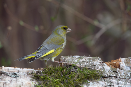 ice chest: Greenfinch (Carduelis chloris) on defocused blurred natural background. Focus on eyes.