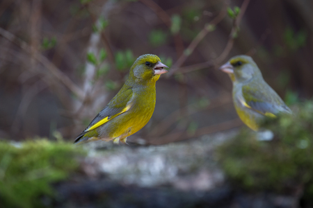 greenfinch: Greenfinch (Carduelis chloris) on birch trunk for natural background. Selective focus.