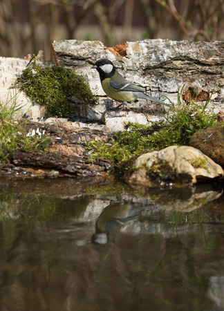 ice chest: Titmouse (Parus major) on the shore of the forest pond for natural background. Selective focus.