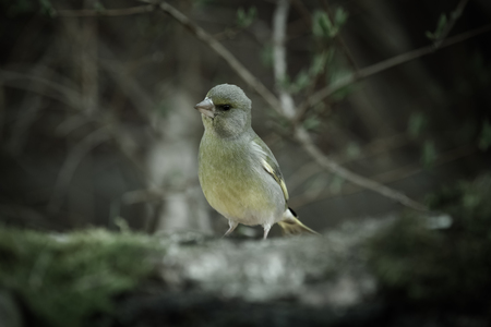ice chest: Greenfinch (Carduelis chloris) on birch trunk for natural background. Selective focus. Toned. Stock Photo
