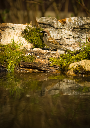 ice chest: Sparrow (Passer domesticus) on the shore of the forest pond for natural background. Selective focus. Toned.