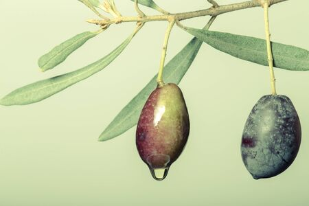 maturation: Branch of olive tree with drop of oil on a light background. Toned.