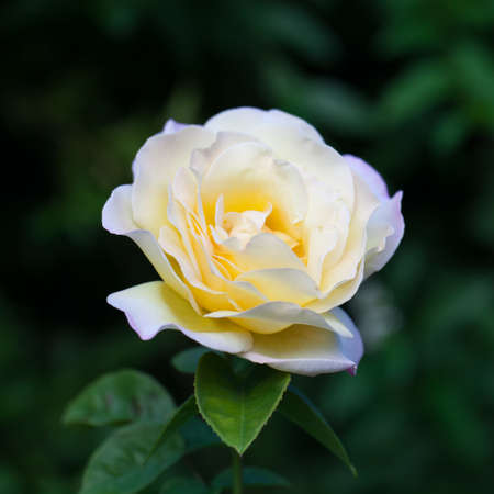 rose garden: Blossom of fresh garden rose. Selective focus. Shallow depth of field. Stock Photo