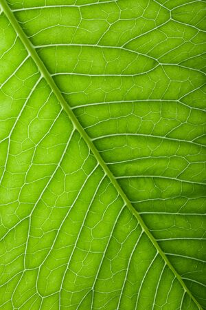 Texture of fresh green leaf for natural background. Stock Photo