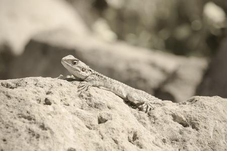desert ecosystem: Mountain agama (Laudakia stellio) basking on a rock on the natural blur background. Toned.