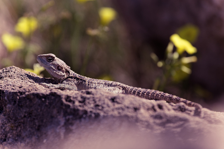 desert ecosystem: Mountain agama (Laudakia stellio) basking on a rock on the natural green blur background. Toned.