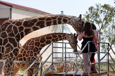 Beautiful giraffe in a zoo.
