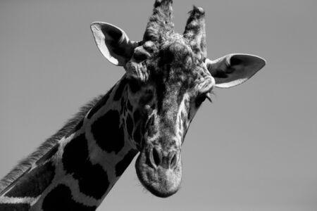 living moment: Beautiful giraffe in a zoo. Toned. Stock Photo