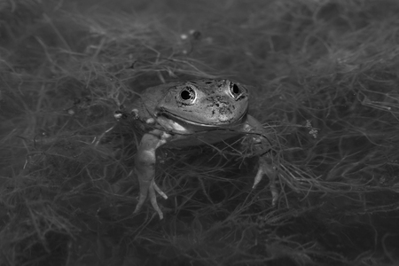 turbid: Frog in the pond in the garden. Selective focus. Shallow depth of field. Toned.