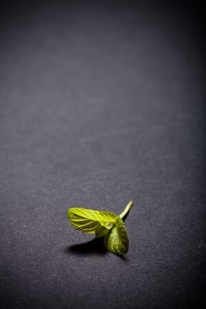 water repellent: Peppermint leaf on the black slate background. Shallow depth of field. Toned. Stock Photo