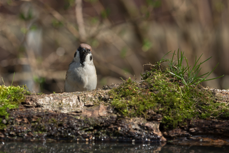 Sparrow (Passer domesticus) on the shore of the forest pond for natural background. Selective focus.