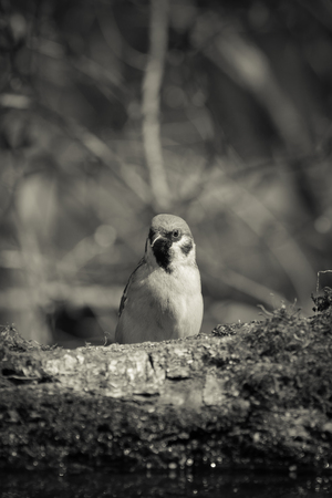 Sparrow (Passer domesticus) on the shore of the forest pond for natural background. Selective focus. Toned.