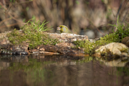 Greenfinch (Carduelis chloris) on the shore of the forest pond for natural background. Selective focus.