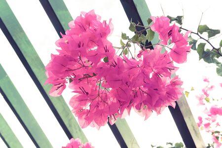 mauve: Flowering bougainvillea. Wild blossom. Selective focus. Toned.