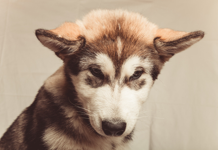 Puppy of alaskan malamute in a studio. Toned.