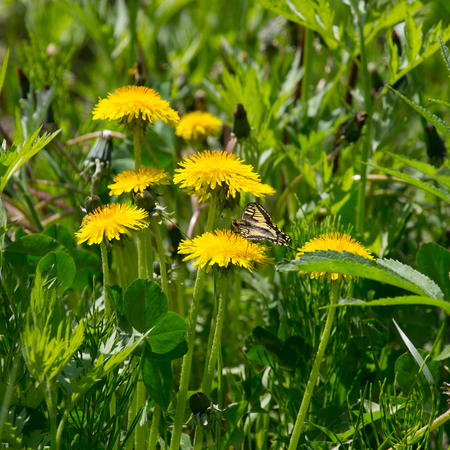 Butterfly on a meadow of yellow dandelions. Selective focus. Shallow depth of field.