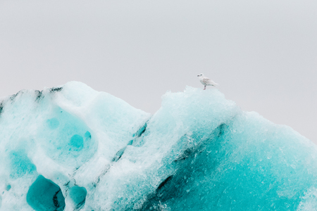 dive trip: Seagull on the ice in Iceberg lagoon jokulsarlon on the south of Iceland. Toned.