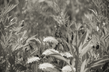 Butterfly on a meadow of yellow dandelions. Selective focus. Shallow depth of field. Toned. Stock Photo