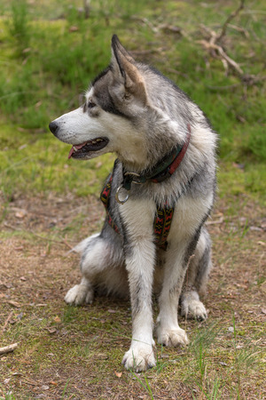Dog breed alaskan malamute on the walking in a forest.