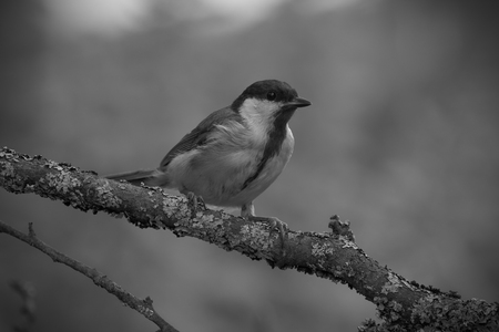 Tit (Parus major) on the branch of tree in a forest. Blurred natural background. Selective focus. Toned. Stock Photo